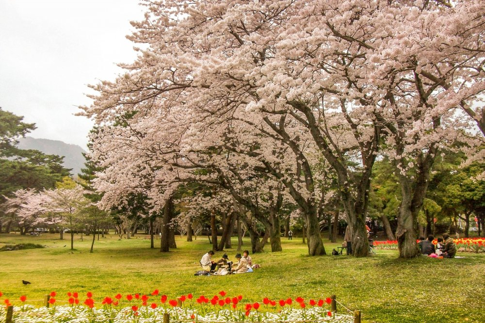 Beppu Park Cherry Blossoms - Oita - Japan Travel - Tourism ...