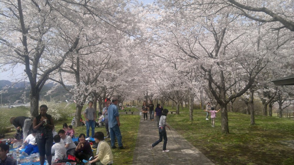 A beautiful canopy of cherry blossoms at Kongozan in Miyako