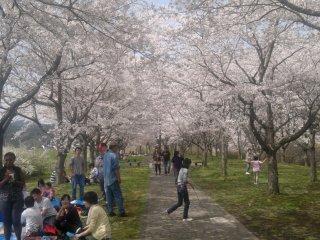 A beautiful canopy of cherry blossoms at Kongozan in Miyako