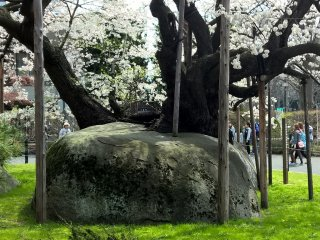 The Rock Splitting Cherry Tree, 石割桜