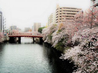 เลียบสองฝั่งแม่น้ำโอโอะคะกะวะมีต้นซากุระยืนเรียงรายไปสุดสายตา