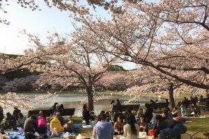Ханами - самая ожидаемая весенняя традиция вкушения сакэ под деревьями цветущей вишни