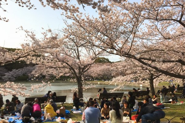 Hanami - a much anticipated spring time tradition of enjoying sake beneath the cherry blossoms