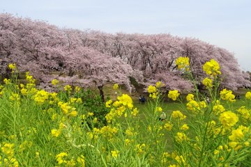 ตกหลุมรักป่าสีชมพูของโยโกฮะมะ