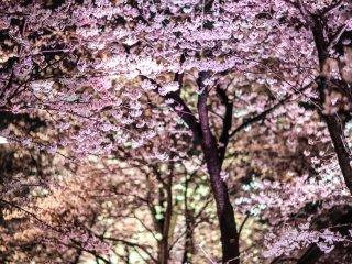 파스텔 톤의 벚꽃색