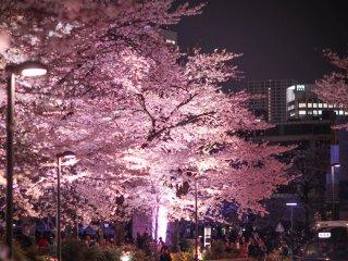 롯본기 길거리에서 본 요자쿠라(밤 벚꽃)의 풍경