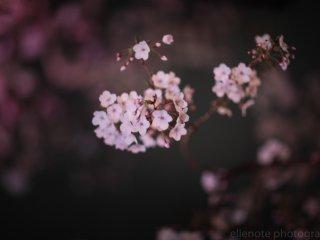 벚꽃 근접샷