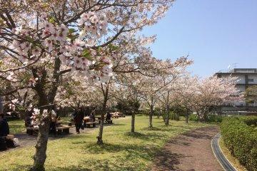 Sakura Pucat di Kota Yamaguchi