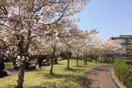 Hoa anh đào hồng nhạt ở thành phố Yamaguchi