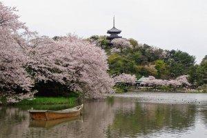 ซากุระและจดีย์สามชั้นจากวัดเก่าแก่ที่ถูกขนย้ายมาจากวัดร้างในเมืองเกียวโต
