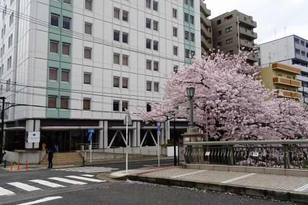 อาคารโรงแรมมายสเตย์ โยโกฮะมะ ตั้งอยู่ในทำเลที่สะดวกสบายที่สุดสำหรับชมดอกซากุระริมแม่น้ำโอโอะคะกะวะ
