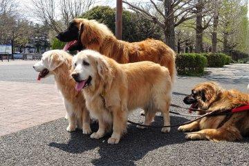 น้องหมาในสวน Showa Memorial Park
