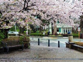 ซากุระ โนะ อะเมะ (Sakura no Ame) สายฝนกลีบดอกซากุระ