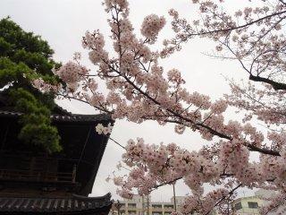 ประตูวัดโบราณกับดอกซากุระ