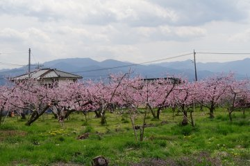 สวนพีชในต้นฤดูใบไม้ผลิ