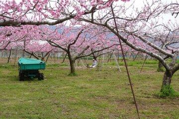 คนสวนกับต้นพีชสีหวาน