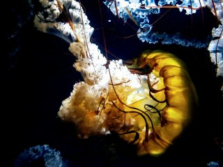 Jellyfish floating around and having fun