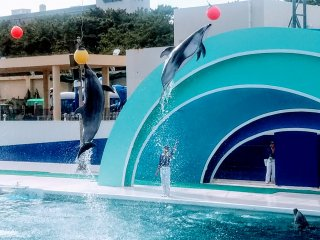 Three dolphins jumping together to touch high altitude balls