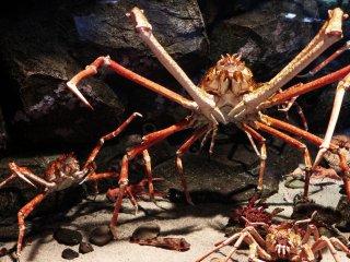 Kepiting raksasa, ukurannya hampir sebesar tangan