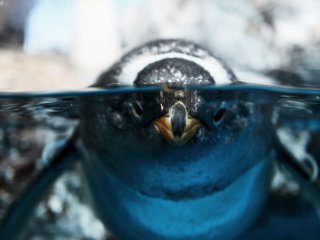 """""""I see you"""" says this half-submerged penguin"""