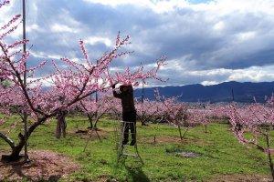 คนสวนต้องจัดการตัดเล็มดอกพีชให้บางลงกันทีละต้น