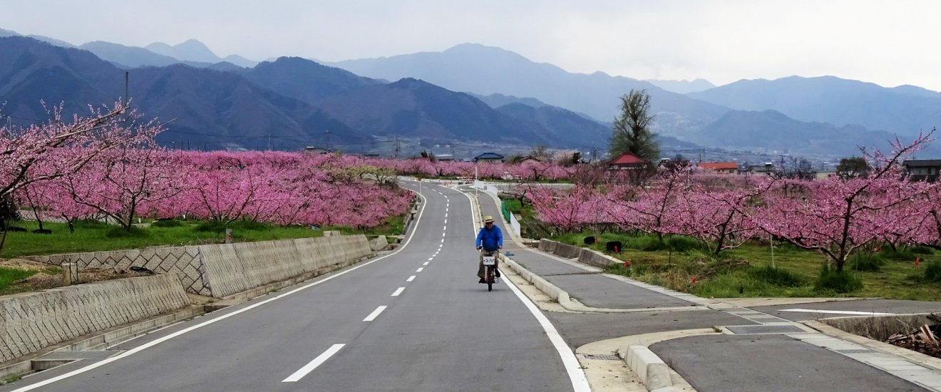 ปั่นจักรยานท่ามกลางทะเลดอกไม้สีชมพู