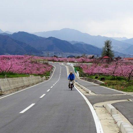 ปั่นจักรยานชมสวนผลไม้ใน Enzan