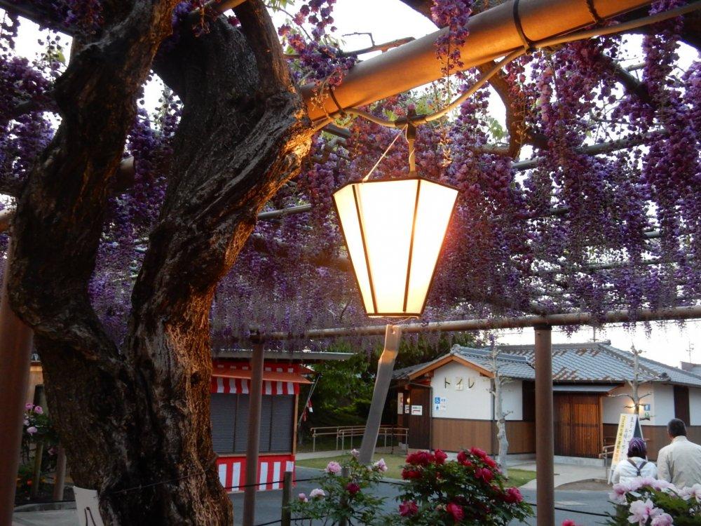 Festival wisteria saat malam.