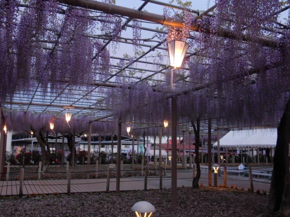 Suasana romantis taman wisteria saat malam
