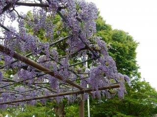 Bunga wisteria yang indah.