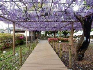 Deretan bunga wisteria.