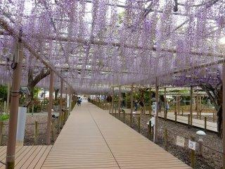 Bunga wisteria yang sering muncul dalam karya sastra Jepang.