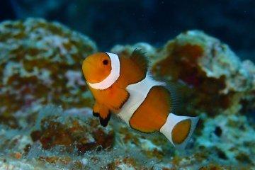 Scuba Diving on Ishigaki Island
