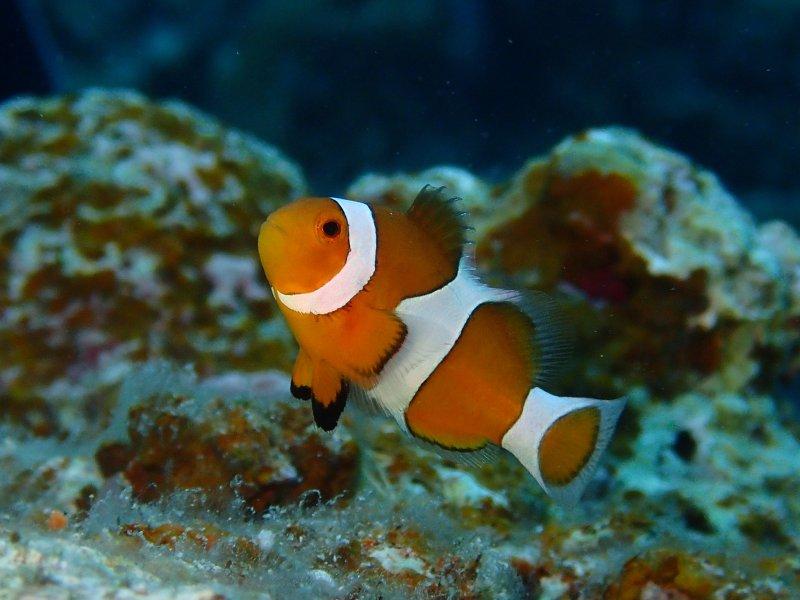 Clownfish at Manta Point