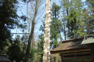 Tree trunk at Shimosha
