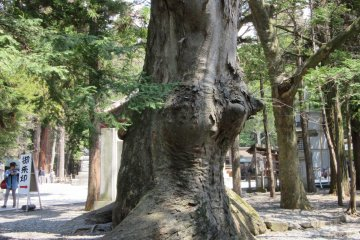 Древние деревья на территории храма Сува