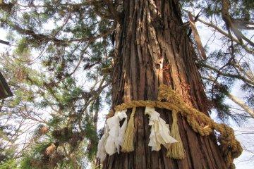 Одно из священных деревьев храма Сува Тайса