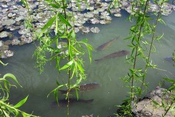 Кои (карпы) в канале вокруг замка
