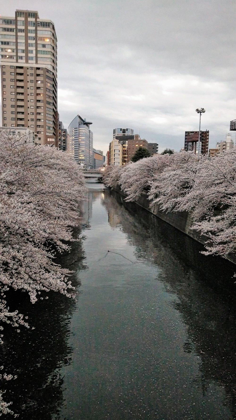 เมื่อดวงตาวันกำลังจากลา แสงสีทองส่องประกายต้องดอกไม้สีชมพูสวย และส่องประกายสะท้อนผิวน้ำ