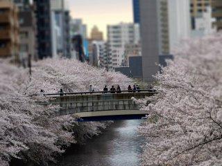 ยามเย็นเป็นอีกช่วงเวลาหนึ่งที่ดีสำหรับเดินเล่นชมดอกซากุระ