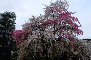 ซากุระตรงกลางสวน