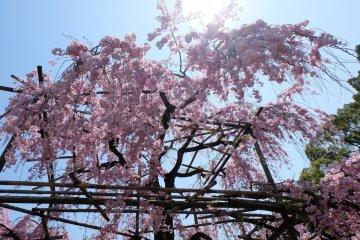 ต้นซากุระขนาดใหญ่ในเดือนเมษายน