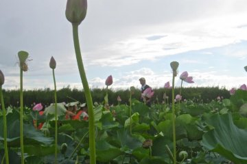 <p>ดอกฮัตซุสามารถเติบโตสูงเกือบหนึ่งเมตรเหนือผิวทะเลสาบ</p>