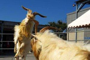 Sesoko Jima goat fights
