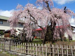 ต้นซากุระพันธ์ห้อยย้อยอายุหลายร้อยปี