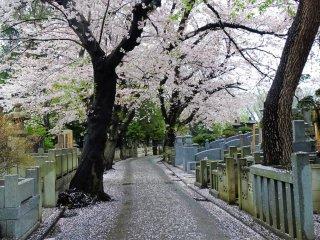 ถนนภายในสุสานเรียงรายไปด้วยต้นซากุระ