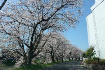 Sakura along the path to the main road