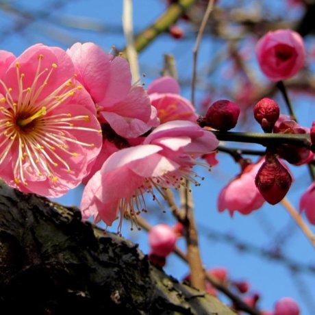 ดอกพลัมที่ชานเมืองโอะดะวะระ