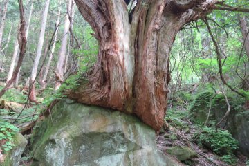 Old tree at Tateshina Otaki Falls