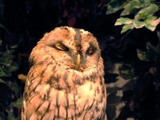 Owl who likes to sleep